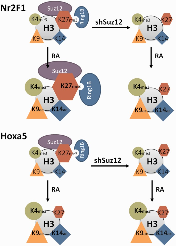 Summary model of Nr2F1 and Hoxa5 epigenetic signatures in response to RA. Nr2F1 and Hoxa5 display different epigenetic signatures on RA treatment of stem cells. Nr2F1 is characterized by increased levels of PRC (Suz12 and Ring1B) and the associated H3K27me3 histone mark in response to RA. In contrast, the Hoxa5 epigenetic signature is characterized by dissociation of PRC (Suz12 and Ring1B) and reduction of the H3K27me3 histone mark. Note that the epigenetic signatures of Hoxa5 are similar in presence and absence of Suz12 after RA addition. In contrast, the epigenetic signature of Nr2F1 on RA treatment differs in the presence and absence of Suz12, thus potentially explaining the increased transcriptional activity on Suz12 knockdown. For both Nr2F1 and Hoxa5 , the transcriptional induction is marked by increased levels of H3K4me3, H3K9ac and H3K14ac permissive histone marks. The different marks are depicted as shapes whose sizes reflect the relative abundance in the specified condition. Histone H3 is depicted as a gray circle. PRC1 and PRC2 are represented by Ring1B and Suz12, respectively.