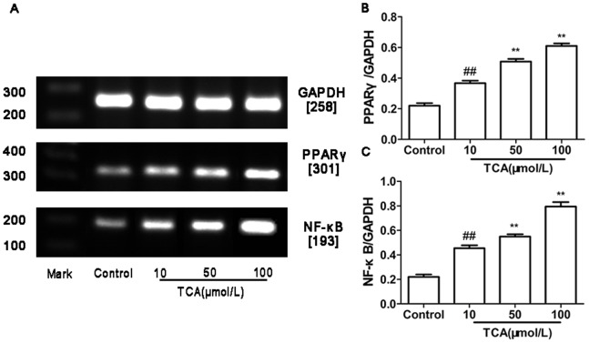 Expression of PPARγ andNF-κB mRNA in cultured HTR-8/SVneo cell. (A) RT-PCR analysis of placental PPARγ and NF-κB mRNA expression in control, mild ICP and sever ICP group. (B) Graphical summary of data on the expression of PPARγ mRNA. (C) Graphical summary of data on the expression of NF-κB mRNA. The data are expressed as the mean ± S.D., ## p