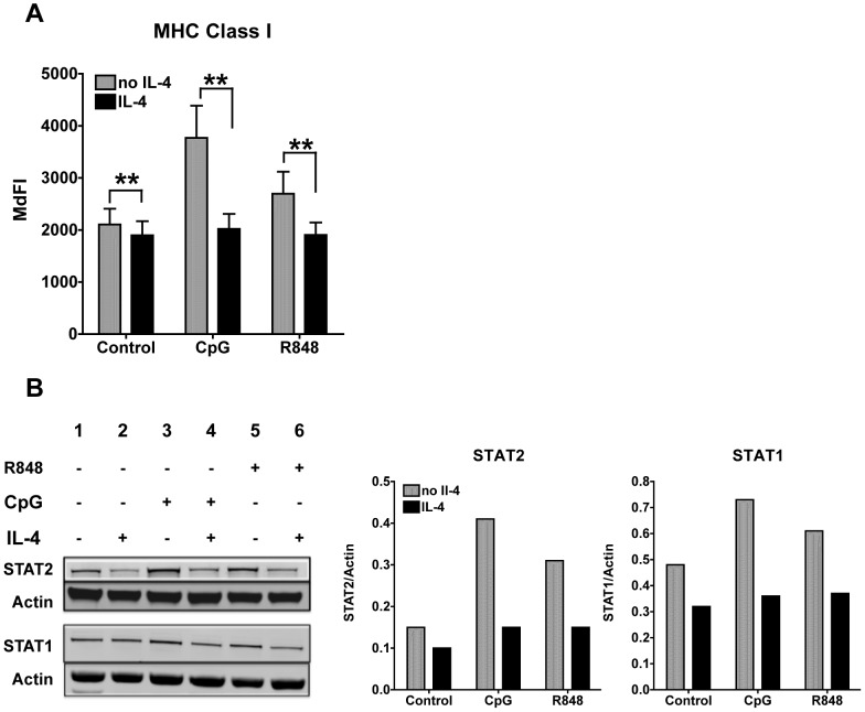 IL-4 suppresses expression of TLR7- and 9-induced MHC Class I, STAT1 and STAT2 protein expression. A . We treated cDCs with IL-4 or left them untreated for 24 h. We then stimulated the cDCs with CpG or R848 for 24 h and then analyzed MHC class I expression. Histogram bars represent averages and standard errors (SE) of the median fluorescence intensity (MdFI) of seven experiments conducted with seven independent cDC cultures; *p