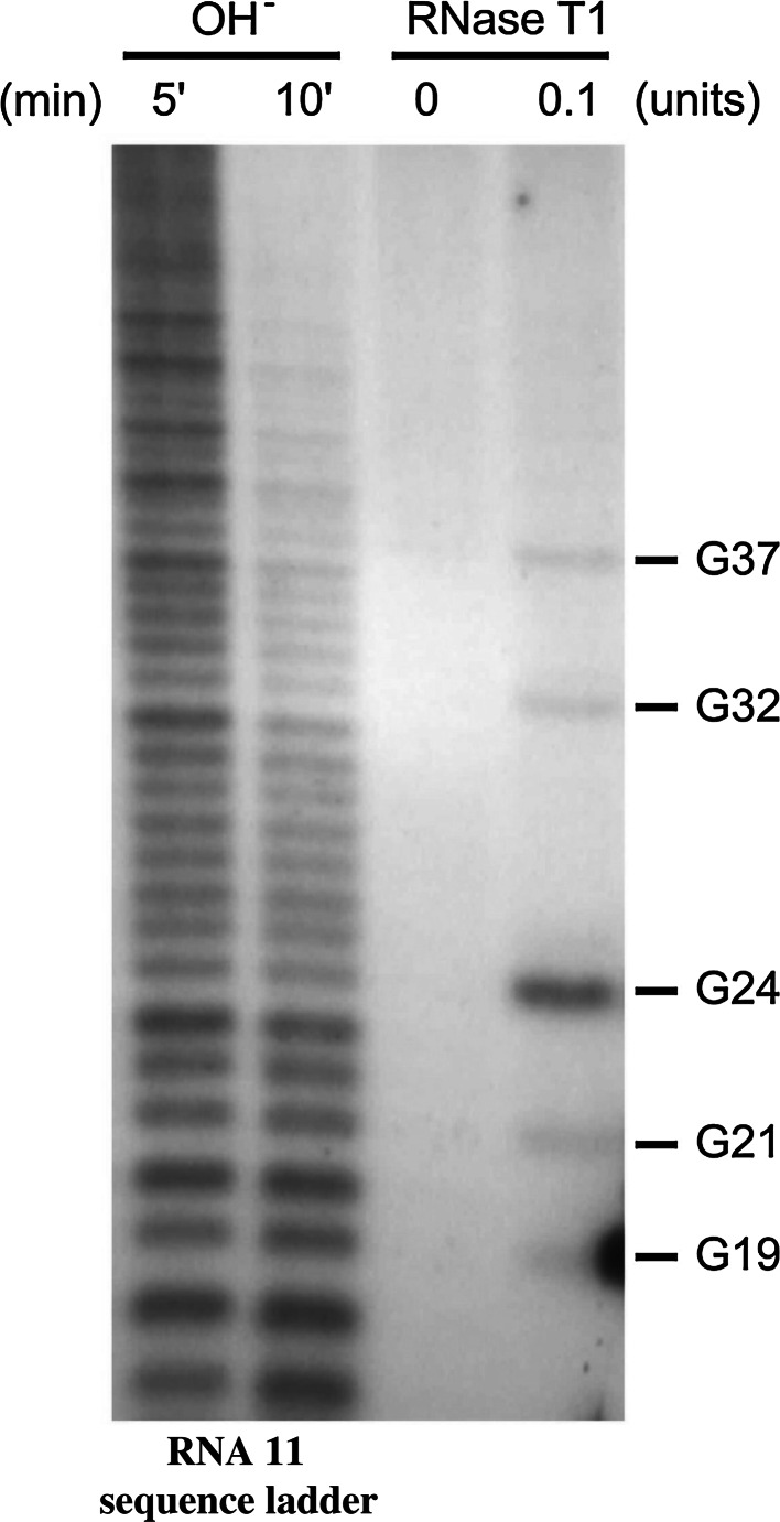 RNase T1 cleavage results of single-stranded guanines in the 5'-terminal sequence of rotavirus RNA11. Single-stranded rotavirus RNA11 was labelled at the 5' terminus using [γ- 32 P]ATP, subjected to partial digestion by RNase T1, and resolved on a 12 % polyacrylamide 7 M urea gel. The dark bands in the last column on the right show the positions of the single-stranded guanines cleaved by RNase T1, compared to the third column from the left (no-enzyme control). The first and second columns from the left represent an RNA11 sequence ladder generated from the same RNA by alkaline hydrolysis for 5 and 10 min, respectively