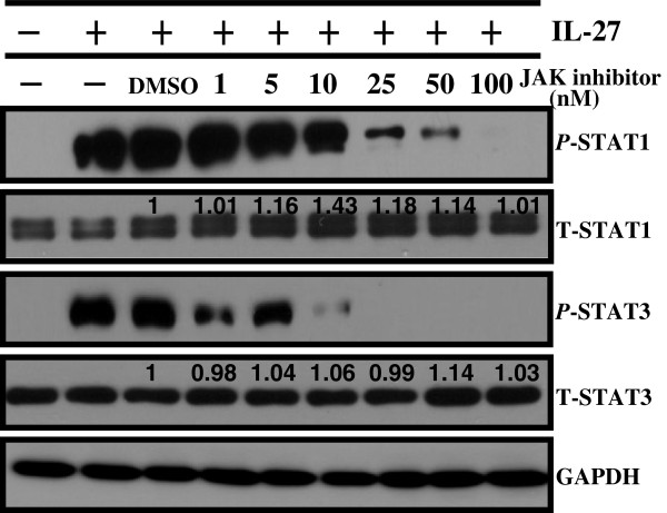 JAK-dependent activation of STAT1 and STAT3 by IL-27 treatment. A549 cells were cultured in the presence of JAK inhibitor I (1-100 nM) for 1 hour prior to IL-27 (50 ng/mL) exposure for 24 hours. The activated and total amounts of STAT1 and STAT3 proteins were detected by Western blot. The densitometric measurements of total amounts of STAT1 and STAT3 were taken using Image J1.45o. The values above the figures represent relative density of the bands compared to control DMSO that was set to 1 after normalized to GAPDH.
