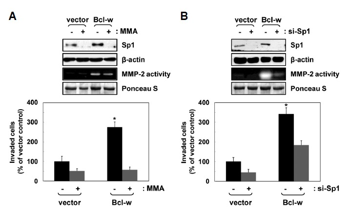 Sp1 is implicated in Bclw-induced invasion upstream of <t>MMP-2.</t> (A) The indicated U251 cell transfectants were incubated in a serum-free medium in the presence or absence of the Sp1 inhibitor mithramycin A (MMA; 10 μmol/L) for 1 or 24 h. Expression levels and activities of Sp1 and MMP-2 were compared using Western blotting and zymography assay using β-actin as the loading control or Ponceau S staining, respectively. The invasive potential of treated cells was compared. * p