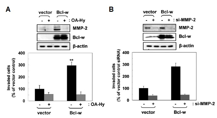 Activation of MMP-2 mediates Bcl-w-induced invasion. (A) The indicated U251 cell transfectants were incubated in serum-free medium in the presence or absence of aMMP-2 inhibitor (OA-Hy; 10 μmol/L) for 1 or 24 h. Expression levels of MMP-2 were compared using Western blotting. Invasion assays were performed using MMP-2 inhibitor-treated and untreated cells. ** p