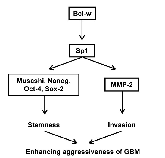 Schematic diagram of the Bcl-w-induced signaling pathway by the activation of Sp1. Bcl-w enhanced the invasive potential of glioblastoma U251 cells by stimulating MMP-2 via increasing expression of the transcription factor Sp1 in the nucleus, and promoted neurosphere formation and glioma stem-like cell markers expression, Musashi, Nanog, Oct4 and Sox2. In conclusion, Bcl-w promotes the properties of GBM aggressiveness by activating Sp1.