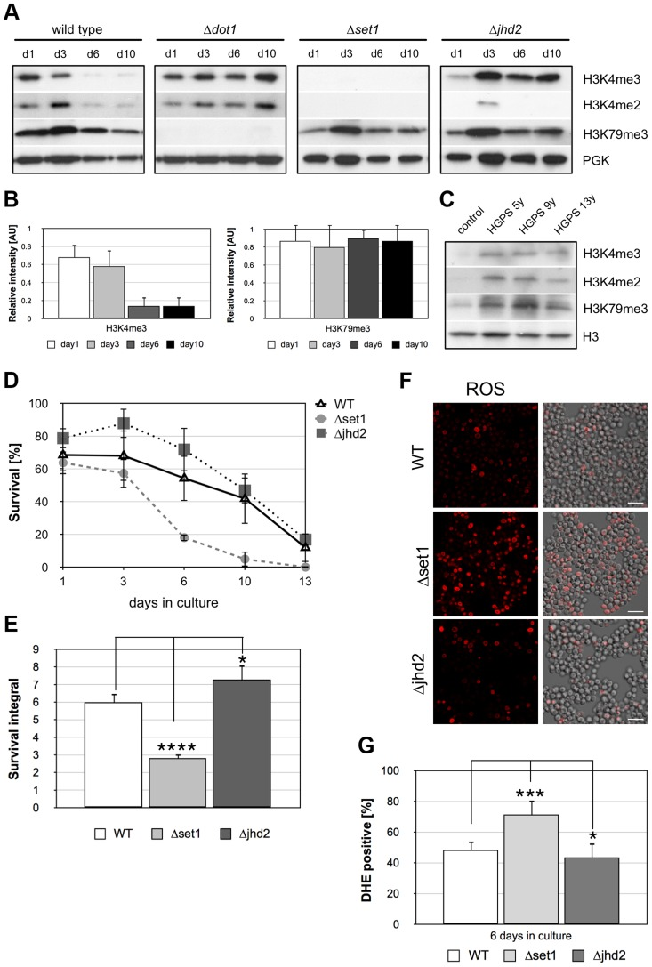 Apoptosis is associated with Dot1p-dependent loss of H3K4 methylation and preventing demethylation delays age-dependent cell death. ( A ) Western analysis of wild-type, Δ dot1 , Δset1 , and Δjhd2 cells to monitor H3K4 and H3K79 methylation during chronological aging. Phosphoglycerolkinase (PGK) antibodies were employed as loading control. ( B ) Relative intensity of H3K4me3 and H3K79me3 levels in wild-type cells during chronological aging as determined by densitometry from three independent experiments using Image J software. ( C ) Immunoblot analysis of H3K4 and H3K79 methylation levels in lymphocytes derived from Hutchinson-Gilford progeria syndrome (HGPS) patients at the age of 5, 9 and 13 years, respectively as well as unaffected control donors. ( D ) Survival of wt, Δset1 , and Δjhd2 cells was determined by clonogenicity during chronological aging. Data represent mean ± SD ( n = 3). ( E ) Integrals under the life span curves were determined. Data represent mean ± SD ( n = 3, *P