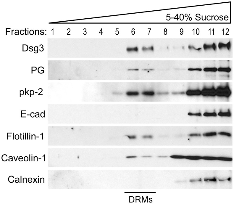 Dsg3 and other desmosomal proteins are membrane raft associated. Primary human keratinocytes were grown to confluence and switched to high calcium media for 16–18 hrs. Following detergent extraction (1% Triton X-100) and ultra-centrifugation on a 5–40% sucrose gradient, 12 fractions were sequentially removed from the gradient and processed via western blot. Dsg3 partitions to the buoyant raft fractions (DRMs, detergent resistant membranes) as indicated by the positive controls <t>flotillin-1</t> and caveolin-1, and negative control calnexin. Desmosomal components plakoglobin (PG) and plakophilin 2 (pkp-2) were also found to be raft associated. E-cadherin, a classical cadherin of adherens junctions, is not enriched in membrane rafts.