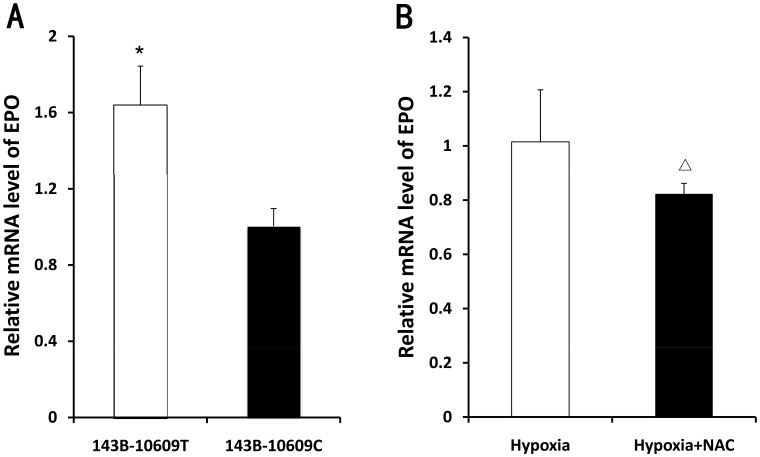 The mRNA level of EPO in cybrids. A. qRT-PCR analysis of mRNA level of EPO from 143B-10609T (WT) and 143B-10609C (MU) cultured for 12 h under hypoxic conditions (37°C, 5% carbon dioxide, and 3% oxygen) (n = 3). B. qRT-PCR analysis of mRNA level of EPO from 143B-10609T (WT) incubated in the absence or presence of 2.5 mM N-acetyl-L-cysteine (NAC) for 12 h under hypoxic conditions (37°C, 5% carbon dioxide, and 3% oxygen) (n = 3). Housekeeping gene was beta-actin, and the relative expression value was calculated by 2−ΔΔT method. Error bars indicate the standard deviation. * P