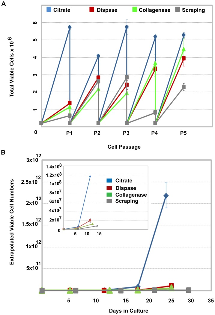 Post-detachment cell viability impacts the rate of cell expansion. (A) Comparison of cell numbers generated over 5 passages in mTeSR™1 on Matrigel™ using conventional colony scraping, Collagenase IV, <t>Dispase</t> or a 1 mM, 570 mOsmol/kg hypertonic sodium citrate solution to subculture the cells. Cell detachment methods were compared by continuously seeding 2×10 5 viable cells per well in six-well plates to control for differences in post-detachment cell recovery. When the hESC colonies for each condition reached confluence, cells were passaged and the viable number of cells determined. Three replicate wells were then individually re-plated at 2×10 5 and the process repeated. (B) The actual viable cell number determined at each passage was used to determine the total number of viable cells that would have been generated if all cells at each passage had been plated. Inset illustrates day 0 to day 15 with an expanded Y axis to illustrate the earlier passages. Error bars indicate standard error of the mean. All conditions, n = 3.