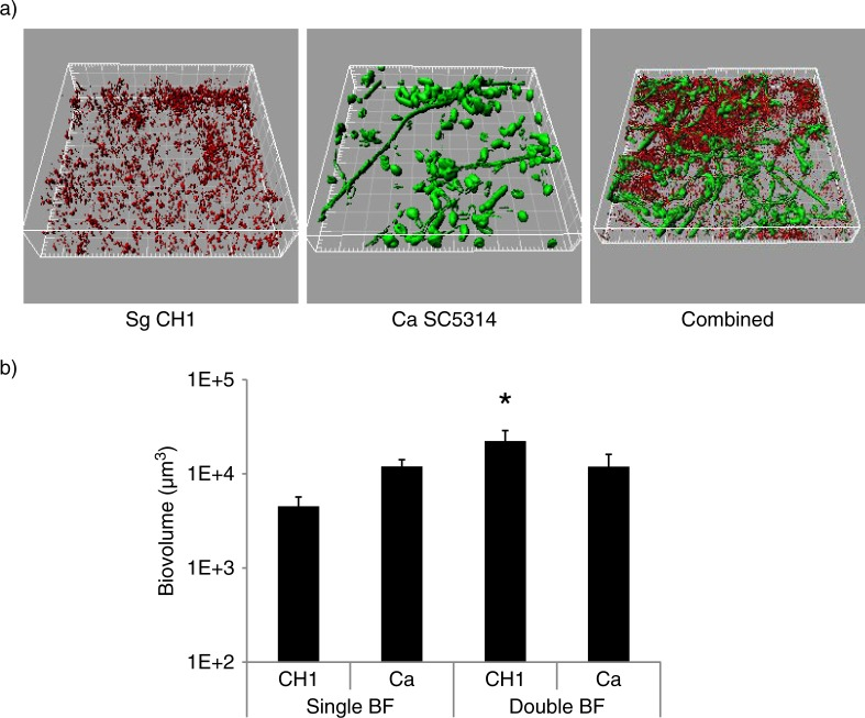 S. gordonii CH1 forms robust dual species biofilms with C. albicans when inoculated simultaneously under conditions of salivary flow. Biofilms were allowed to develop in flow cells for 12–14 h in saliva-supplemented medium. Panel (a) depicts 3-D reconstructions of representative confocal images of biofilms. C. albicans SC5314 (green) was visualized after staining with an FITC-conjugated anti- Candida antibody. S. gordonii CH1 was visualized after fluorescence in situ hybridization (FISH) with a Streptococcus sp.-specific probe conjugated to Alexa 546. Panel (b) depicts the average biovolumes (in µm 3 ) for each species as measured in eight different CLSM image stacks from two independent experiments. Bottom panel: S. gordonii= CH1, C. albicans= Ca. * indicates a p-value of less than 0.05 when S. gordonii mono-species biovolumes were compared to mixed-species biovolumes by t -test.