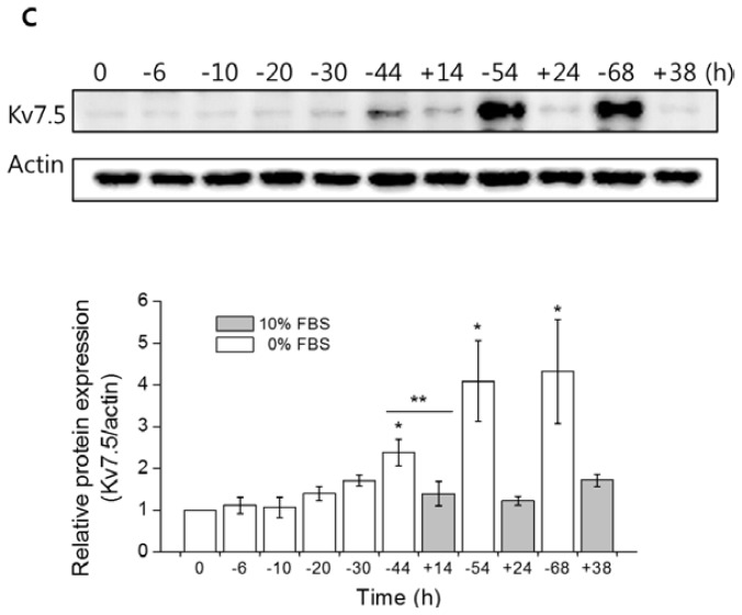 "Upregulation of Kv7.5 expression levels by serum deprivation. ( A ) The cells were seeded onto plates and incubated overnight before serum withdrawal. On the following day, one plate of cells was harvested as a control for the experiments (0 h), and the other subconfluent proliferating cells were washed two times with warm PBS and transferred into serum-free DMEM. The cells were further incubated for 6, 10, 20, 30, 44, 54, and 68 h (prefixed with ""−"" to imply the withdrawal of serum) and harvested. Three plates of cells were transferred into complete growth medium after 30 h of serum deprivation to induce the cell progression into the G 1 –S transition and incubated for 14, 24, and 38 h (prefixed with ""+"" to imply the re-addition of serum); The relative expression levels of Kv7.5 in the presence or absence of FBS were analyzed by qPCR ( B ) and western blot analysis ( C ). The values are the mean ± SEM of five ( B ) and four ( C ) independent experiments. The asterisks denote values significantly different from the control (0 h). * p"