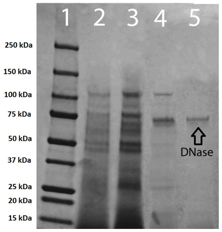 Electrophoresis of the various stages of DNase purification on a 4%–15% gradient polyacrylamide gel. ( 1 ) 250–10 kDa protein ladder; ( 2 ) crude DNase; ( 3 ) concentrated DNase; ( 4 ) Sephadex G-50 purified DNase; and ( 5 ) membrane purification following Sephadex G-50 column purification.