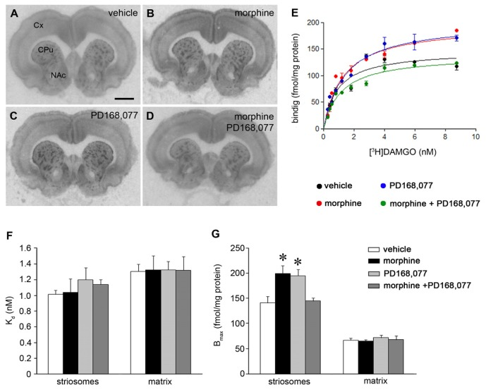 Co-administration of PD168,077 during continuous morphine treatment prevents the increase of [ 3 H]DAMGO binding sites induced by the opioid drug. ( A – D ) Representative autoradiograms from coronal brain sections at the CPu level of rats which received six days of continuous treatment with vehicle ( A ), morphine (20 mg/kg/day) ( B ); PD168,077 (1 mg/kg/day) ( C ) and morphine + PD168,077 ( D ); Abbreviations: Cx, cortex; CPu, caudate putamen; NAc, nucleus accumbens. Scale bar is 2 mm. ( E ) Saturation curves of [ 3 H]DAMGO binding in the striosomes; ( F , G ) Effect of drug treatments on K d and B max values (mean ± SEM; n = 6) of [ 3 H]DAMGO binding in the striosomes and matrix compartment of the rat CPu. * p