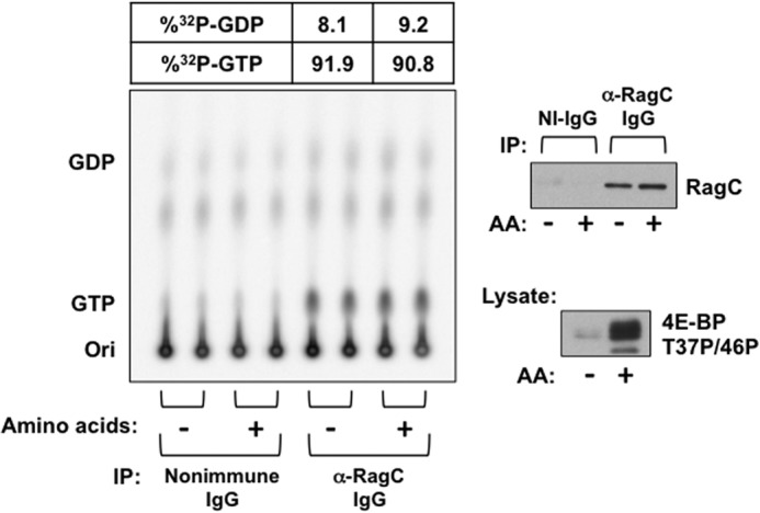 Effect of amino acid withdrawal on [ 32 P]guanyl nucleotide content of RagC-containing heterodimers endogenous to 32 P i -labeled HEK293T cells. Replicate plates of HEK293T cells were incubated in P i -free DMEM containing 32 P i (0.2 mCi/ml). After 4 h, the cells were rinsed and incubated in either homemade P i -free medium ( AA +) or P i -free medium lacking amino acids ( AA -), each containing 32 P i (0.2 mCi/ml). Cells were extracted 2 h later, and immunoprecipitation ( IP ) was performed using nonimmune ( NI ) rabbit IgG or anti-RagC IgG. Nucleotides were extracted from the washed immunoprecipitates and separated by TLC on PEI cellulose. An immunoblot analysis of the extract for 4E-BP(T37P/T46P) and of the immunoprecipitates for RagC are shown in the right panels. Ori , origin.