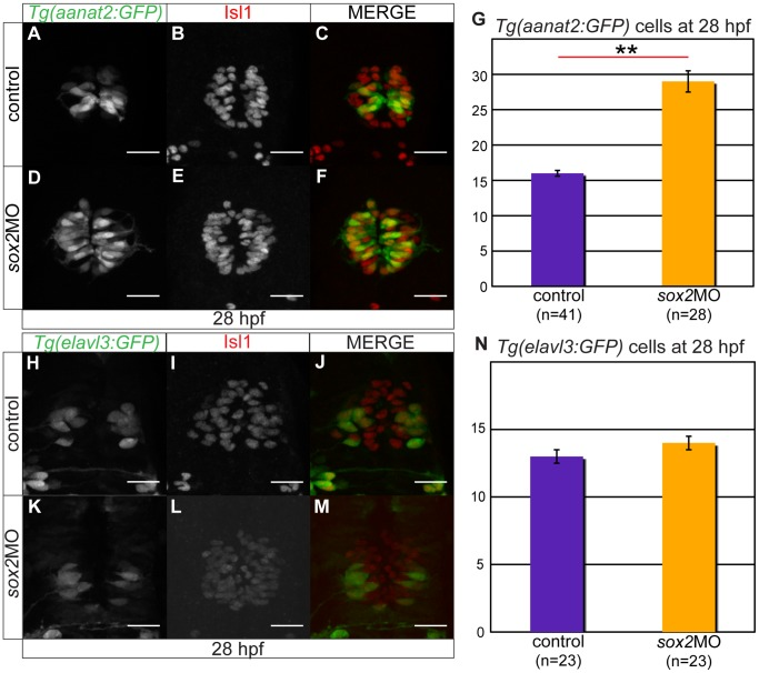 Sox2 inhibits the PhR cell fate. ( A–C ) Tg(aanat2:GFP) drives GFP expression in the pineal PhRs. ( B ) Isl1 labels the pineal cells. ( D–F ) Knockdown of sox2 results in increased number of PhRs. ( G ) The average number of PhRs in control (purple bar) and sox2 morphants (orange bar). ( H–J ) Tg(elavl3:GFP) drives GFP expression specifically in the PNs. ( K–M ) The knockdown of sox2 does not affect the number of PNs. ( N ) The average number of PNs in controls (purple bar) and sox2 morphants (orange bar) does not significantly differ. Confocal maximum projections of 28 hpf embryos, scale bars = 25 µm, error bars represent ± standard error, ** = p-value