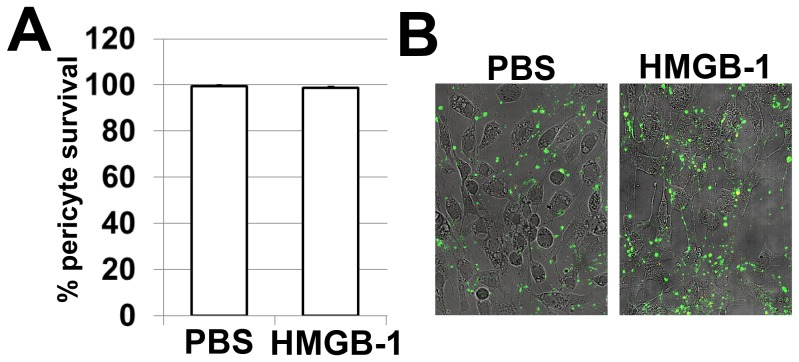 HMGB-1 does not directly mediate pericyte death. ( A ) Treatment with HMGB-1 (10 µg/ml) does not increase cell death in pure primary human pericyte cultures. All experiments were repeated at least three times. ( B ) Pericyte death was determined using annexin V as a marker of apoptotic cells and annexinV/propidium iodide (PI) to identify necrotic cells.