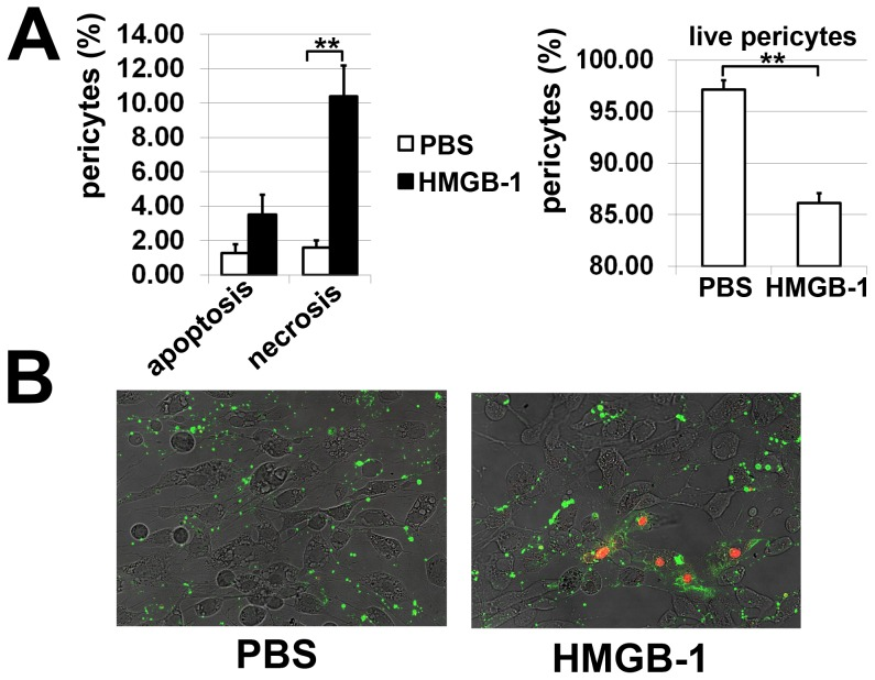 Glia mediates the effect of <t>HMGB-1.</t> ( A ) Primary pericytes co-cultured with glia were treated with HMGB-1 (5 µg/mL, 24 hours). Pericyte survival was assessed using an apoptosis assay kit. All experiments were repeated at least three times (**P
