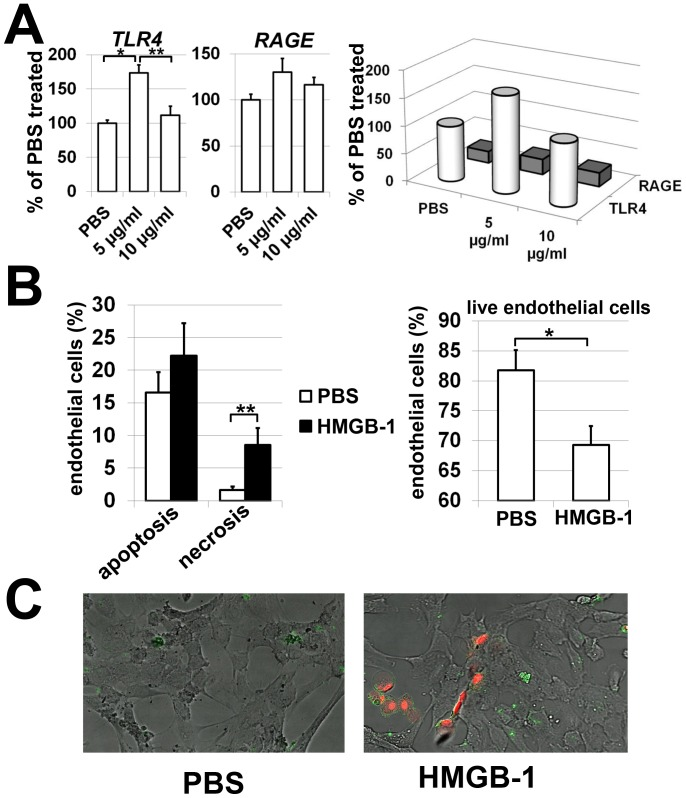 HMGB-1 directly mediates retinal endothelial cell death. ( A ) Expression of HMGB-1 receptors (TLR4 and RAGE) in HMGB-1-treated (5 and 10 µg/ml) and control (PBS-treated) retinal endothelial cells. ( B ) Treatment with HMGB-1 (10 µg/ml) increases cell death in primary human retinal endothelial cell cultures. All experiments were repeated at least three times (*P