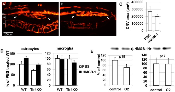 There was no association found between the level of HMGB-1 and neovascularization in the retina. Neovascularization was induced by subretinally injecting Matrigel either with PBS ( A ) or mixed with HMGB-1 ( B ). Neovascularization was allowed to develop for 10 days. Blood vessels were labeled with DiI and visualized by fluorescence microscopy (white arrows indicate neovascularization in the Matrigel injected area. Ch, choroids; M, Matrigel, R retina. Scale bar: 200 µm). ( C ) Quantitative analysis shows no difference in the levels of neovascularization between HMGB1-treated eyes compared to control eyes. ( D ) VEGF-A expression was not changed in glial cells (astrocytea and microglia) treated with HMGB-1 and PBS (control). ( E ) Examination by western blot of vitreous humor from both hyperoxia-injured and room air control animals (obtained from postnatal days 15 and 17 pups) did not show a statistically significant difference between them. Results of analysis of western blots (top) are expressed as a percentage of corresponding value in the control eyes ± SEM (n = 6).