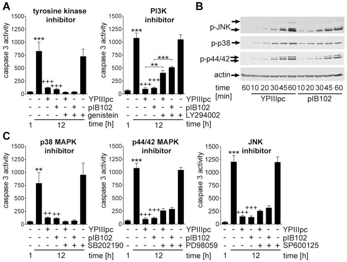 PI3K, but not tyrosine kinases contribute to bacteria-induced PMN survival. (A) PMNs were treated with 25 µM genistein or 25 µM LY294002 for 1 h before infection with YPIIIpc or pIB102 at MOI 10∶1 for 30 min followed by incubation for 1 and 12 h. Caspase 3 activity in rate of FU is indicated. Data are presented as mean with SEM (N = 3). (B) PMNs were infected with YPIIIpc or pIB102 at MOI 10∶1 for indicated periods of time. Protein extracts were subjected to Western blot analysis and probed with antibodies against phospho-JNK/SAPK, phospho-p38 MAPK, phospho-p44/42 MAPK and β-actin. One experiment representative of three performed is shown. (C) PMNs were preincubated with 5 µM SB202190, 20 µM PD98059 or 20 µM SP600125 for 1 h before infection with YPIIIpc or pIB102 at MOI 10∶1 for 30 min and further incubation for 1 and 12 h. Caspase 3 activity in rate of FU is indicated. Data are presented as mean with SEM (N = 3); (A, C) **p