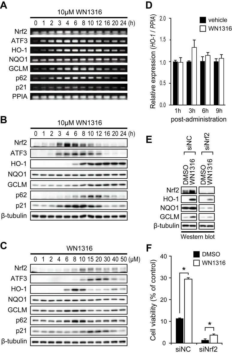 Nrf2 is essential for antioxidant and detoxifying enzyme gene induction by WN1316. (A–B) Effect of the expression of mRNAs and proteins, including Nrf2, ATF3, HO-1, NQO1, GCLM, p62 and p21, in WN1316-treated cells. Differentiated SH-SY5Y cells were treated with 10 µM WN1316 or DMSO for the indicated times. Total RNA and cell extracts from WN1316-treated SH-SY5Y cells were used for RT-PCR (A) and Western blot analysis (B), respectively. Peptidylprolyl isomerase A (PPIA) was used as a control for RT-PCR. β-tubulin was used as a loading control for protein. (C) Western blot analysis of proteins shown in A in a WN1316 dose-dependent manner. SH-SY5Y cells were incubated with 1 to 50 µM WN1316 for 8 h. Equal amount of protein from cell lysates were analyzed by using antibodies as indicated. β-tubulin was used as a loading control for protein. (D) Quantitative RT-PCR analysis of HO-1 mRNA from the lumbar spinal cord of wild type mice administered with WN1316 (100 µg/kg) (n = 3) or vehicle (physiological saline) (n = 3). Relative mRNA expression was acquired by normalizing HO-1 mRNA to PPIA mRNA. Data are expressed as mean ± SEM. (E–F) SH-SY5Y cells were transfected with 5 nM nonsilencing siRNA (siNC), or Nrf2 siRNA (siNrf2). At 48 h after transfection, cells were treated with 6 µM WN1316 for 8 h. The expression of Nrf2, HO-1, NQO1, and GCLM was analyzed by Western blotting (E). The cell viability after the exposure to 60 µM menadione for 4 h was measured by AlamarBlue and normalized to untreated control (F). Data are expressed as mean ± SD (n = 4). * p