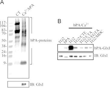 Confirmation of glyoxalase 1 (GlxI) as a transglutaminase 2 (TG2) substrate. (A) HeLa cell lysate was subjected to the in vitro transamidation reaction with endogenous TG2 and substrates in the presence of 1 μg/μl bPA. The bPA labeled proteins were pulled down using streptavidin-agarose and applied to the biotin overlay assay (upper panel) and immunoblotting (lower panel). (B) Purified rhGlxI was subjected to the in vitro transamidation reaction and applied to the biotin overlay assay (upper panel) and immunoblotting (lower panel). Lane 1: TG2 only; lane 2: bPA only; lane 3–7: TG2, bPA and various reagents. CT: control, CTE: cysteamine, CTA: cystamine, MDC: monodansylcadaverine.
