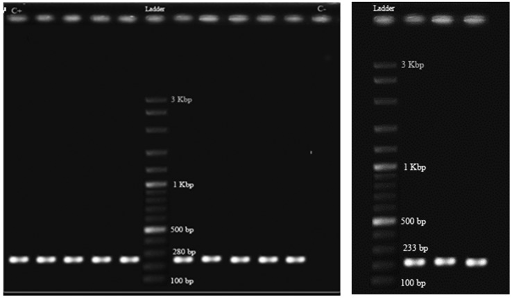 PCR amplification product of class 1 (A) and class 2 (B) integrase genes in a number of ESBL producing Klebsiella pneumoniae clinical isolates. Ladder, DNA molecular weight marker (100 bp, Fermentas); C+, positive control for class 1 integron; C − , negative control (no DNA template).