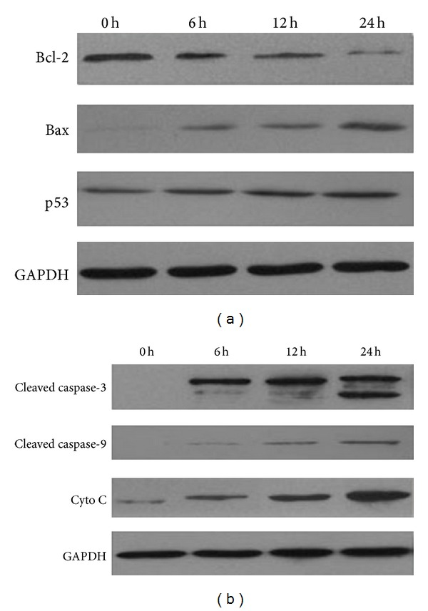 LC suppresses lung cancer cell growth via an apoptosis-independent mechanism. (a) Cells were treated with LC (4 μ g/mL) for 6 h, 12 h, and 24 h. Western blot assays were performed to determine the expression of Bcl-2, Bax, and p53 in H460 cells. GAPDH was used as a loading control. (b) Western blot assays were performed to determine the expression of cleaved caspase-3, cleaved caspase-9, and cytochrome C in H460 cells.