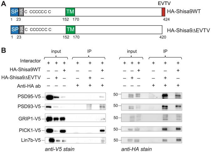 Validation of interaction between Shisa9 and its putative interactors by means of <t>co-immunoprecipitation</t> from HEK293T cells. A. Schematic view of Shisa9-constructs used in co-immunoprecipitations. SP, signal sequence; TM, transmembrane domain; HA, HA-tag; EVTV, PDZ-ligand motif. B. Co-immunoprecipitation of Shisa9-interactor complexes from HEK293T cells. HA-Shisa9WT and HA-Shisa9ΔEVTV were overexpressed in HEK293T cells in combination with interacting proteins (one at a time). Anti-HA-tag antibody was added to immunoprecipitate HA-Shisa9-interactor complexes. Obtained samples were resolved on SDS-PAGE, western blotted and immunostained with anti-V5 antibody against V5-tagged interactors. Shisa9WT co-immunoprecipitates with PSD95, PSD93, GRIP1, PICK1 and Lin7b proteins, whereas Shisa9ΔEVTV lost the possibility to establish the interaction with named proteins (left panel). The right panel shows the same membranes as in the left panel stained with the anti-HA antibody in order to visualize the presence of Shisa9 in the immunoprecipitated samples. The 50 kDa band is indicated.