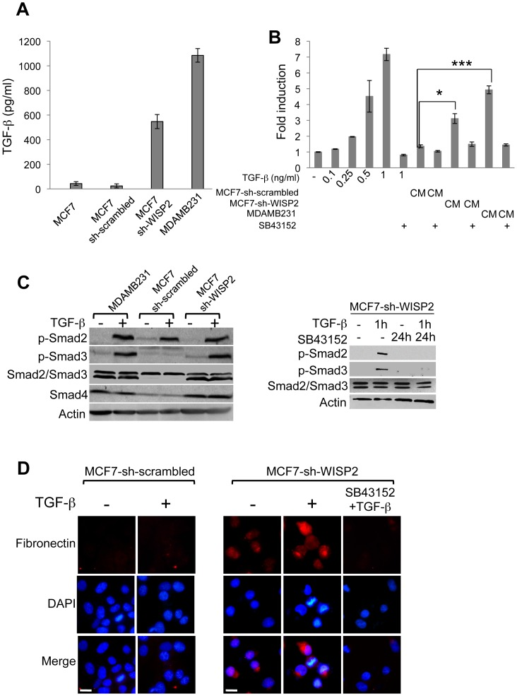 WISP2 knock-down is accompanied by enhanced TGF-β signaling. ( A ) Quantification by sandwich ELISA of total (active plus latent) TGF-β1 in conditioned medium from MCF7, MCF7-sh-scrambled, MCF7-sh-WISP2 and MDAMB231 cells. Results are the means ± SD of triplicate experiments. ( B ) HEK293T cells were transfected with 0.3 µg of CAGA 9 -Luc and 10 ng of Tk-renilla as an internal control. Cells were treated with various concentrations of TGF-β (0 to 1 ng/ml) or conditioned medium (CM) from MCF7-sh-scrambled, MCF7-sh-WISP2 and MDAMB231 cells treated or not with SB43152 (10 −6 M), a specific inhibitor of TGF-β receptor kinase, for 16 h. The fold induction was determined relative to the activity of the reporter alone and represents three independent experiments assayed in triplicate. ( C ) Cells were treated with or without TGF-β (2 ng/ml) for 1 h, in the presence or absence of SB43152 (10 −6 M), for 24 h. The protein levels of Smad2, Smad3, Smad4, p-Smad2 and p-Smad3 were examined by Western blotting using the corresponding antibodies. Actin was used as a loading control. ( D ) Immunofluorescence analysis of fibronectin expression was performed for MCF7-sh-scrambled and MCF7-sh-WISP2 cells. Cells were treated as described in (C), and were then fixed, permeabilized and immunostained with anti-fibronectin and Alexa Fluor 594-conjugated secondary antibodies, as described in Materials and Methods . Nuclear DNA was stained with DAPI. Images were obtained by microscopy at ×40. Scale bars, 10 µm. *p