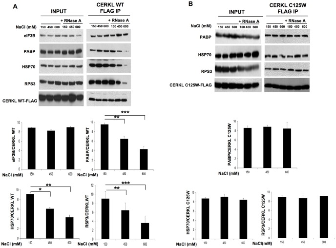 In the compact mRNPs, CERKL interacts with PABP, HSP70 and RPS3 in an mRNA-dependent manner. A and B ) HEK-293T cells were transfected with CERKL-WT ( A ) or with CERKL-C125W mutant ( B ). After 48 h, cells were treated with 100 µg/ml cycloheximide and lysates were treated or not with RNase A (100 µg/mL) in the presence of three different concentrations of NaCl (150, 450 and 600 mM, as indicated). Then, the lysates were immunoprecipitated with anti-Flag M2 affinity beads. The co-immunoprecipitated proteins were analyzed by immunoblot using antibodies that recognize eIF3B (only in A ), PABP, HSP70, RPS3 and Flag (to detect CERKL-WT and its C125W mutant). In the histograms below, the bands corresponding to the various proteins recovered after the Flag IP, in the presence of RNase A, were quantified with respect to CERKL-WT ( A ) or CERKL-C125W ( B ) in each lane. Values are the mean from 4 different experiments. Stars indicate statistically significant differences from the values in the presence of 150 mM NaCl (*p