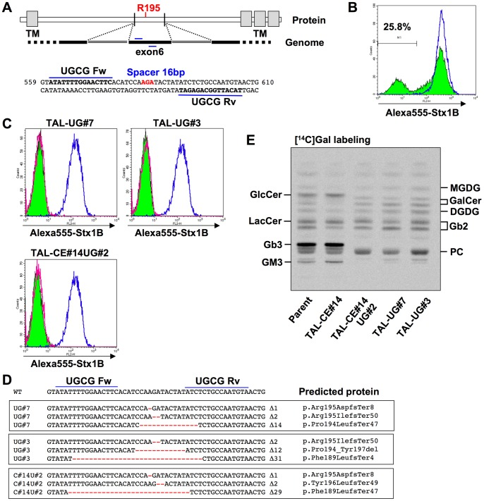 Isolation of UGCG -deficient and CERT/UGCG double-deficient clones. A, Target sites of TALEN-UGCG pair (TAL-ModA-UGCG) in human UGCG gene. The sequences are located in exon 6, which contains the codon of the 195th arginine (R195) essential for the activity. The target sites are shown in bold and the codon of R195 is shown in red. The numbers on the right and left of the sequence indicate the sequence numbers from the A of the translation initiation codon, based on UGCG mRNA (accession number D50840). B, Surface expression of StxRs on TALEN-UGCG–treated HeLa cells. HeLa cells were treated with TALEN-UGCG (colored histogram with black line) or empty vectors (blue line), and the cells were stained with Alexa-555-Stx1B. C, Surface expression of StxRs on TAL-UGCG clones (TAL-UG#7 and #3) and a TAL-CERT/UGCG clone (TAL-CE#14UG#2). The clones were stained with Alexa-555-Stx1 B (colored histogram with black line) or not (magenta line) and HeLa-mCAT#8 cells were stained with Alexa-555-Stx1 B (blue line). D, Indel analysis of UGCG gene in TAL-UGCG (TAL-UG#7 and #3) and TAL-CE#14UG#2 clones. Deletions are shown in red and their lengths are specified on the right of the sequences. The predicted proteins are indicated based on the recommended description (see Materials and Methods ) [50] . E, Metabolic labeling of lipids with radioactive galactose. TAL-UG#7, -UG#3 and -CE#14UG#2 cells were labeled with [ 14 C]galactose for 16 h, and lipids extracted from the cells were separated by HPTLC. Radioactive image of an analyzed TLC plate is shown. MGDG, monogalactosyl diacylglycerol; DGDG, digalactosyl diacylglycerol (Galα1-4GalDG); PC, phosphatidylcholine.