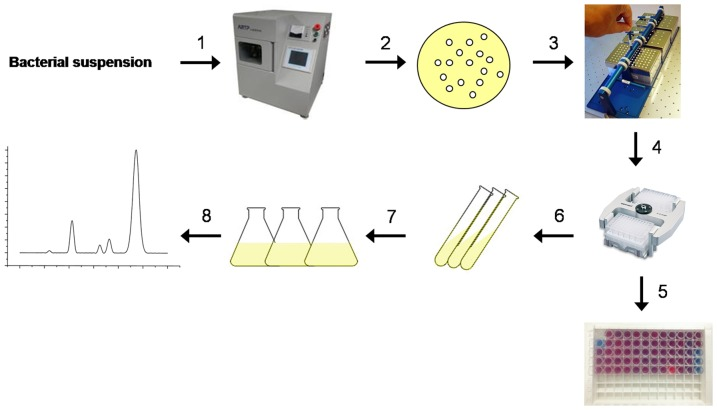 Strategy for screening surfactin producers. (Step1) Bacterial suspension of B. sbtilis 723 is mutated by ARTP; (Step 2) Mutants after gradient dilution are plated on LB agar at 37°C until clear individual colonies are observed (12 h); (Step 3) Select individual colonies to MicroFlask by Duetz and incubate aerobically at 37°C, 200 rpm for 24 h; (Step 4) The MicroFlask by Duetz with fermentation broths are centrifuged at 8000× g for 10 min; (Step 5) 150 µL supernatant and 75 µL PDA vesicles are reacted at 25°C for 10 min, and the CR% values are calculated; (Step 6) The strains with CR% more than 26% are preserved; (Step 7) The high-yielding mutants are cultivated under conditions appropriate for surfactin production (LB medium, 37°C), and (Step 8) The cell-free culture supernatant is collected and analyzed by HPLC to quantify the surfactin content in the medium.