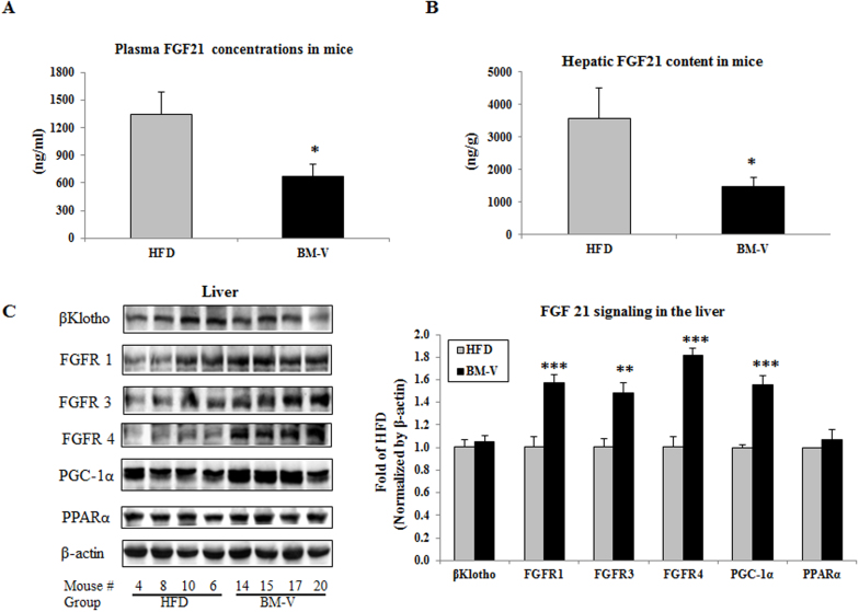 The effects of BM extracts on fasting plasma and liver FGF21 levels as well as FGF21 signaling in mice. FGF21 was measured using a mouse FGF21 ELISA kit from R D Systems Inc (Minneapolis, MN). (A) Fasting plasma FGF21 concentrations. (B) Liver FGF21 content. Mean ± SEM (n = 10/group). (C) FGF21 signaling proteins were measured by Western blotting assay. Results were normalized by β-actin content. BM-V significantly increased FGFR1, FGFR3, FGFR4 and PGC-1α, slightly reduced PPARα, but did not affect b-Klotho protein abundance in comparison with HFD animals. Mean ± SEM (n = 10/group). * P