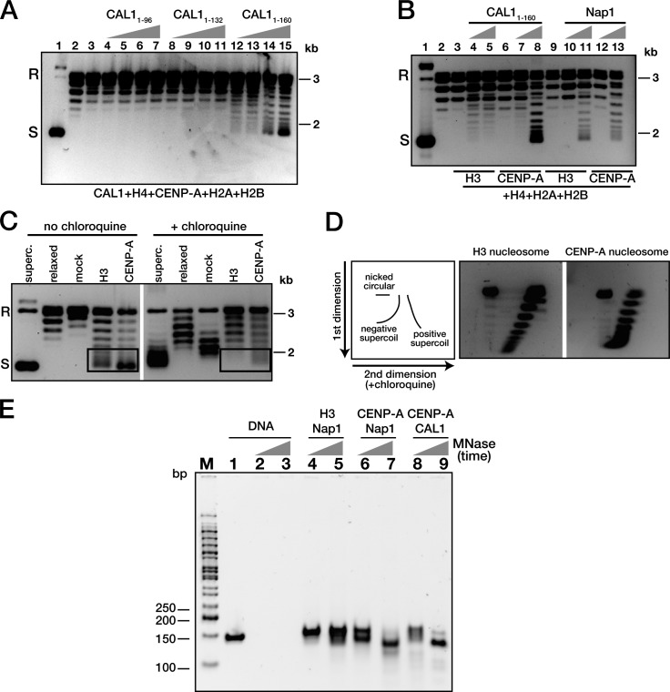 CAL1 is a CENP-A–specific nucleosome assembly factor. (A) CENP-A 101–225 –H4 was assembled on circular relaxed plasmid (pCR2.1-4 [CEN3 + CEN6]) using increasing amounts of CAL1 1–96 , CAL1 1–132 , or CAL1 1–160 in the presence of topoisomerase I. The extracted DNA samples were analyzed on agarose gel and stained with SYBR gold. Lane 1: supercoiled plasmid; lane 2: relaxed plasmid; lane 3: CENP-A 101–225 –H4, H2A–H2B but no CAL1; lanes 4–7: relaxed plasmid and CENP-A 101–225 –H4, H2A–H2B with CAL1 1–96 ; lanes 8–11: CENP-A 101–225 –H4, H2A–H2B with CAL1 1–132 ; lanes 12–15: CENP-A 101–225 –H4, H2A–H2B with CAL1 1–160 . (B) CENP-A–containing nucleosomes and histone H3 nucleosomes were assembled using histone proteins, CAL1 1–160 , or yeast Nap1 and pGEM3Z-601 plasmid. Lane 1: supercoiled plasmid; lane 2: relaxed plasmid; lanes 3, 6, and 9: mock reaction without CAL1 1–160 or Nap1; lanes 4 and 5: H3–H4, H2A–H2B with CAL1 1–160 ; lanes 7 and 8: CENP-A 101–225 –H4, H2A-H2B with CAL1 1–160 ; lanes 10 and 11: H3–H4, H2A–H2B with Nap1; lanes 12 and 13: CENP-A 101–225 –H4, H2A–H2B with Nap1. (C) CAL1-assembled CENP-A nucleosomes are negatively supercoiled. CENP-A nucleosomes (lane CENP-A) were assembled by CAL1 1–160 in the presence of topoisomerase I and H2A–H2B dimers, whereas histone H3 nucleosomes (lane H3) were assembled by Nap1. Controls are: supercoiled plasmid (superc.), relaxed plasmid (relaxed), and relaxed plasmid without histones or Nap1, but treated and processed as in the H3 and CENP-A nucleosome assembly reactions (mock). The samples were analyzed on agarose gels with or without 1 µg/ml chloroquine. Boxes highlight the decrease in migration that occurs in the presence of chloroquine in both H3 and CENP-A nucleosomes. (A–C) S, supercoiled; R, relaxed plasmid. (D) Diagram depicting the expected migration patterns for negatively and positively supercoiled DNA separated by 2D gel electrophoresis ( Tachiwana et al., 2011 ). Left gel: H3 nucleosomes assembled with N