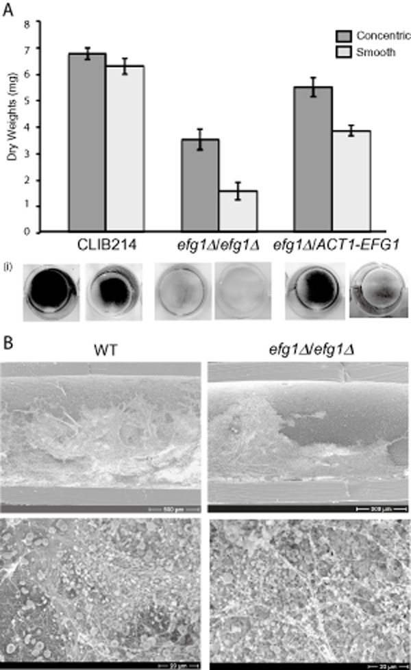 Efg1 regulates biofilm development by C. parapsilosis .A. The in vitro biofilm mass of smooth and concentric colonies from wild type (CLIB214), efg1 Δ / efg1 Δ deletion strains (including a mixture of strains LCP2, LCP5 and LCP8) and the reconstituted strain LCP7_RI was determined by measurement of dry weights. The average ± standard deviation from three independent measurements is shown. The panels below show biofilm growth on 24-well Nunc plates stained with crystal violet.B. In vivo biofilms were developed in the rat catheter model. Concentric wild-type (CLIB214) cells and smooth efg1 / efg1 deletion (LCP1) cells were allowed to develop for 24 h and then visualized by SEM at two magnifications.