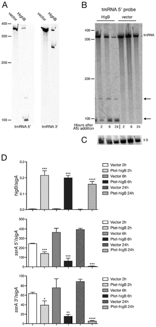 HigB expression affects tmRNA in M. tuberculosis ΔTAC. RNA was extracted from mid-exponential cultures treated with ATc for 2 h, 6 h or 24 h and cDNA was prepared for qRT-PCR analysis.A–C. Northern blots probing for tmRNA (A and B) and 5S (C). Transcript sizes are relative to the position of RNA marker and tmRNA cleavage products are indicated with an arrow.D. Quantitative RT-PCR of transcripts of interest. All results are the mean values and standard deviation of three independent biological replicates. A significant difference (as determined by Student's t -test) between vector control and HigB overexpression strain is marked by an asterisk (*) for P