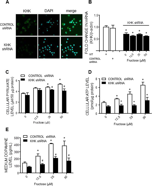 KHK gene knockdown prevents the fructose-induced increases in cellular pyruvate and ATP level as well as dopamine release from the N2a cells. Representative immunofluorescence images showing distribution of KHK in the N2a cells (A) on day 7 after the lentiviral transfection of small hairpin RNA of KHK (KHK shRNA) or control shRNA; as well as changes in KHK mRNA (B) , cellular pyruvate (C) and ATP contents (D) , and dopamine levels in the culture medium (E) , detected at 72 hours after the administration of different concentrations of fructose (0, 12.5, 25, or 50 μM) to the culture medium of the KHK shRNA or control shRNA-transfected N2a cells. Values are mean ± SEM of quadruplicate analyses. * P