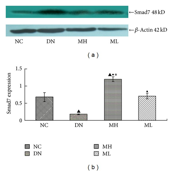 <t>Smad7</t> protein expression in each group by Western blot. (a) Western blot strip chart. (b) The gray graph shows the relative statistical values of Smad7 for each group. Compared with the NC group, Smad7 expression decreased in the experimental groups, especially in the diabetic nephropathy group, with a subsequent increase in the MH and ML groups, and a more pronounced increase in the MH group compared with the ML group. ▲ P