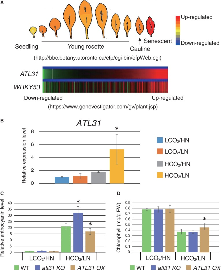 Physiological function of ATL31 in leaf senescence. (A) The expression pattern of ATL31 is shown as researched using the publicly accessible microarray database. Age-dependent expression (eFP browser; http://bbc.botany.utoronto.ca/efp/cgi-bin/efpWeb.cgi ) (upper panel) and co-expression with WRKY53 (Genevestigator; https://www.genevestigator.com/gv/index.jsp ) (lower panel) were analyzed for the ATL31 gene. (B) Expression levels of the ATL31 gene in WT plants grown under each CO 2 /N condition were analyzed by qRT–PCR. Relative expression levels were compared with the control CO 2 /N condition (LCO 2 /HN). Means ± SD of three independent experiments with two technical replicates are shown. An asterisk indicates significant differences compared with the WT grown under the control CO 2 /N condition as determined by Dunnet analysis ( P
