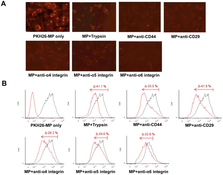 Incorporation of MPs in HUVEC. (A) Immunofluorescence analysis of HUVEC internalization (30 min at 37°C) of MPs labeled with PKH26 preincubated with or without trypsin (0.5 mM), or with 1 µg/ml blocking monoclonal antibody against CD44, CD29, α4 integrin, α5 integrin, and α6 integrin. (B) Representative FACS analyses of HUVEC internalization of MPs labeled with PKH26 (black curves) after 30 min of incubation at 37°C. MPs were preincubated with or without trypsin, or with 1 µg/ml blocking monoclonal antibodies against CD44, CD29, α4 integrin, α5 integrin, and α6 integrin. Black curves indicate internalization of untreated MPs. In the first panel, red curve indicates negative control (cells not incubated with MPs) and black dot curve indicates PKH 26 expression in cultured HUVEC treated with PKH 26 labeled MPs alone. In other panels, red curves indicate internalization of MPs in cultured HUVEC after pretreatment with trypsin or blocking antibodies. Δ denotes the degree of PKH 26 reduction after treatment with trypsin or blocking antibodies compared to PKH 26 labeled MPs alone. Three independent experiments were performed with similar results.