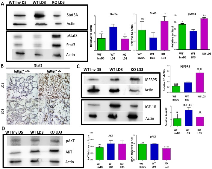 Lactating Igfbp7 −/− glands exhibit accelerated involution. To determine if Igfbp7 −/− glands exhibit molecular changes that are the hallmark of involution process we prepared protein extracts from the Wild Type (WT) or the Igfbp7 −/− glands on lactation day 3 (WT LD3, KO LD3 respectively) or from WT lactating glands were weaned for 5 days (WT Inv D5) to induce post-lactational involution. The expression of Stat5a, Stat3, phospho Stat3 (pStat3), AKT, pAKT, Igfbp5, and IGF-1R proteins was determined by Western Blots. (A, C–D) Representative Western Blots are shown. The protein expression levels for Stat5a and Stat3, AKT, Igfbp5, and IGF-1R have been normalized to beta actin expression while the expression of pStat3, pAKT have been normalized to total corresponding protein expression in each sample. The bar graphs show the average expression obtained from of 3 independent protein extracts and the statistical significance was calculated based on two-tailed t-test (*P =