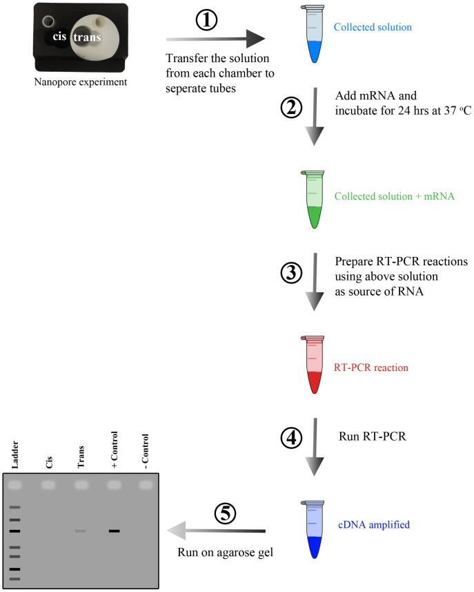 RNase A detection workflow. First, a nanopore experiment is conducted and at the end the solution from each chamber is collected and transferred to a microcentrifuge tube. Second, mRNA is added to the solution collected in step 1 and incubated for 24°C. Third, after incubation the solution from step 2 is used as source of template RNA for RT-PCR reaction. Fourth, RT-PCR is performed. In the fifth step, the end product from RT-PCR is run on an agarose gel. If there is RNase A present in solutions collected in step 1 then there will be a faint band or no band (depending on RNase A quantity) on the agarose gel.