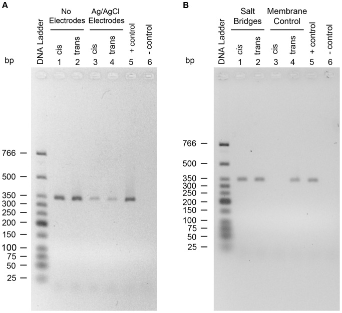 Effect of Ag/AgCl electrodes on the RNase A detection assay. (A) Lanes 3 and 4 show reverse transcription of mRNA when there are Ag/AgCl electrodes immersed in the solution, whereas lanes 1 and 2 show reverse transcription of mRNA when there are no electrodes immersed in solution. (B) Lanes 1 and 2 show reverse transcription of mRNA when there are agarose salt bridges immersed in the solution instead of Ag/AgCl electrodes. Lanes 3 and 4 show the cis and trans solutions, respectively, after adding RNase A to the cis chamber with the lipid bilayer membrane separating the two chambers.