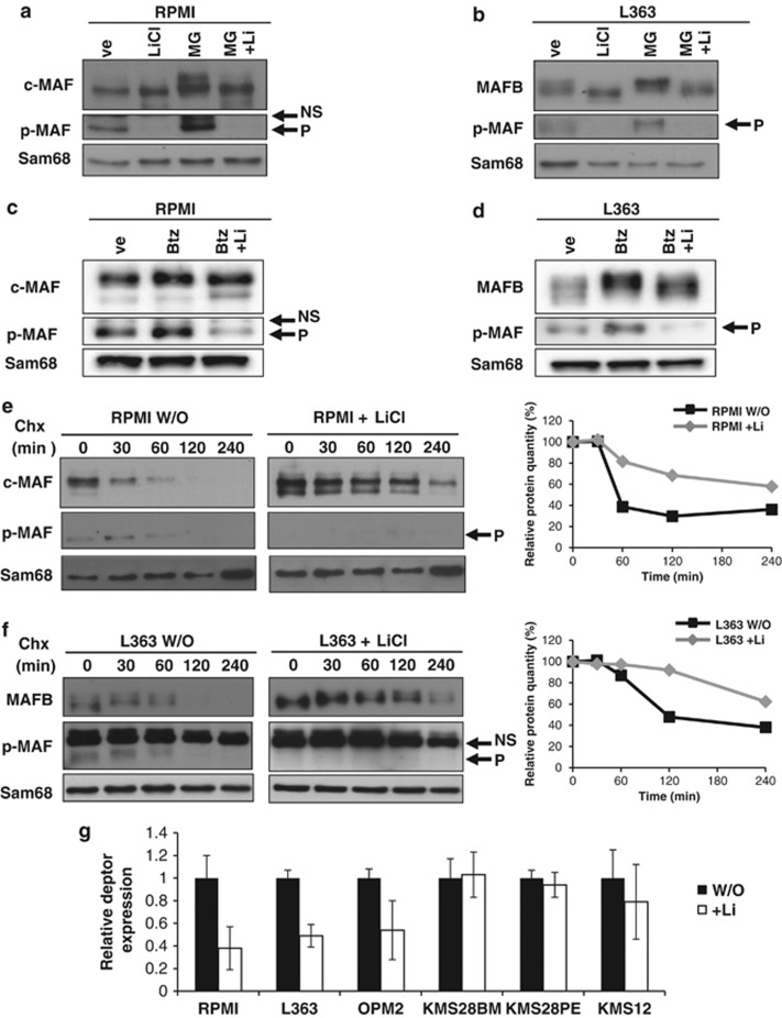 LiCl-mediated GSK3 inhibition leads to MAFB and c-MAF degradation and decreases DEPTOR expression. RPMI ( a – c ) and L363 ( b – d ) cells were treated or not with LiCl for 1 h and then with MG132 (MG) ( a and b ) or bortezomib (Btz) ( c – d ) for 3 h. Anti-c-MAF, MAFB, p-MAF and SAM68 western blots were carried out on nuclear extracts. RPMI ( e ) and L363 ( f ) cells were treated or not treated (w/o) with LiCl followed by treatment with 20 μg/ml cycloheximide (Chx) for the indicated time points. Nuclear extracts were analysed by western blots using c-MAF, MAFB, p-Maf and SAM68 antibodies. Band intensities were measured, normalised to SAM68 and plotted as a percentage of the initial band intensity (right panels). ( g ) The Relative DEPTOR expression in different HMCLs treated with LiCl (as indicated) was determined by RT-qPCR. Expression was normalised to HPRT. NS, non-specific; P, phosphorylated forms. DEPTOR expression was specifically decreased upon LiCl treatment in MAFB (L363 P=0.07, OPM2 P=NS) and c-MAF-expressing cells (RPMI P