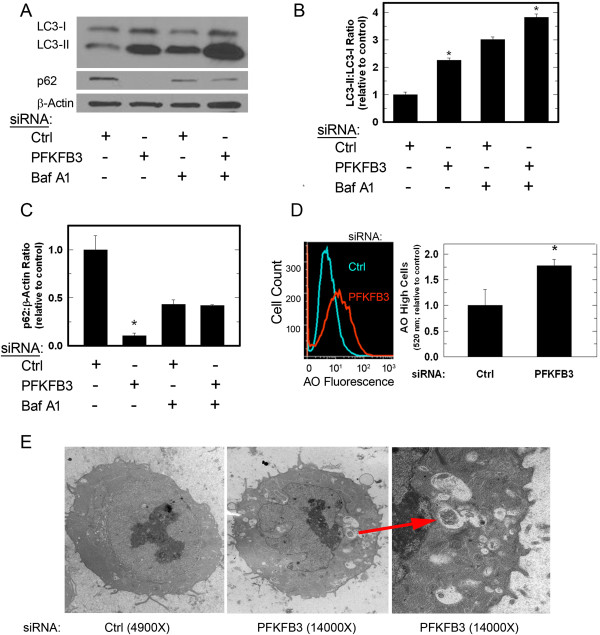 Transfection of HCT-116 cells with PFKFB3 siRNA stimulates autophagy. LC3-II and p62 protein levels were determined using Western blotting 48 hours after transfection with either control (ctrl) or a siRNA directed against PFKFB3 (PFKFB3) (A) . Treatment with 1 nM bafilomycin A1 (Baf A1) was used to determine if LC3-II levels were a result of increased autophagic flux or impaired degradation (A) . Quantitative densitometry was performed to assess relative protein levels (B, C) . LC3-II and p62 levels are expressed as the mean fold change ± SD from three experiments relative to LC3-I or β-actin and control. After 48 hours of transfection with either control (ctrl) or PFKFB3-specific siRNA, cells also were stained with acridine orange, observed by fluorescent microscopy and collected by flow cytometry to measure the relative content of acidic compartments (D) . Examination of the cells by electron microscopy demonstrated that PFKFB3 siRNA transfection resulted in cells containing intracellular structures consistent with autophagosomes (E; arrow) . Data are presented as the mean ± SD from three experiments (* P