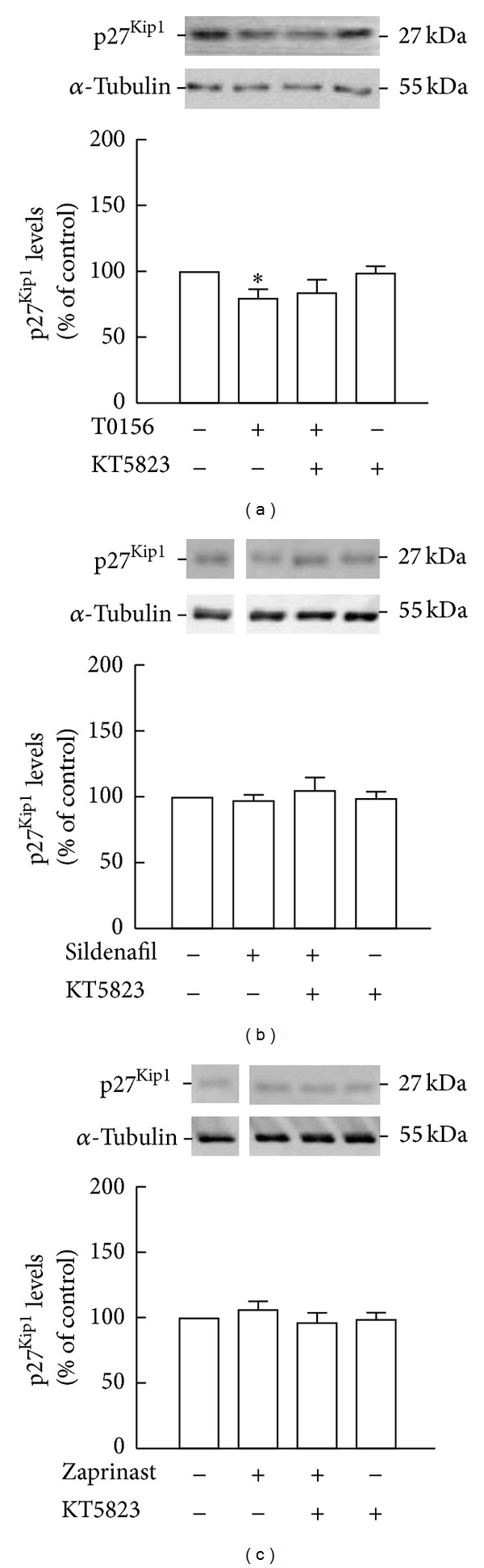 Inhibition of PKG did not prevent the decrease of p27 Kip1 levels by T0156. p27 Kip1 levels following treatment with 1 μ M KT5823 and 1 μ M T0156 (a), 1 μ M sildenafil (b), or 10 μ M zaprinast (c) for 2 h were assessed by Western blot. Representative images are shown. Data are expressed as means ± SEM of at least 4 independent experiments. One-way ANOVA (Bonferroni's post-test), * P