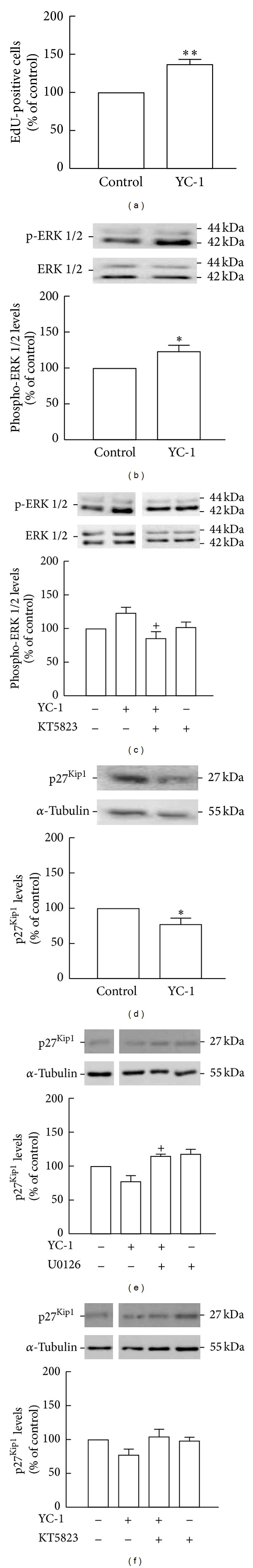 Activation of sGC stimulates proliferation of NSC, increases ERK1/2 phosphorylation, and decreases p27 Kip1 levels. Cell proliferation following treatment with 20 μ M YC-1 (a) for 24 h was assessed by the incorporation of EdU and analyzed by flow cytometry. Levels of phospho-ERK1/2 following treatment with 20 μ M YC-1 (b) or YC-1 plus 1 μ M KT5823 (c) and p27 Kip1 levels following treatment with YC-1 (d) or YC-1 plus 1 μ M U0126 (e) or KT5823 (f) for 2 h were assessed by Western blot. Representative images are shown. Data are expressed as means ± SEM of at least 4 independent experiments. (a), (b), and (d) two-tailed t -test, * P