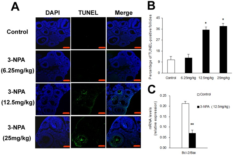 Effect of oxidative stress on granulosa cell apoptosis. Ovaries were collected after <t>3-NPA</t> different doses treatment for 7 days (A) TUNEL staining of ovarian paraffin sections. Scale bars are 100 µm. (B) The percentage of TUNEL-positive follicles. (C) The relative expression levels of Bcl-2 and Bax in granulosa cells. Data show the means ± SEM (n = 5). * P
