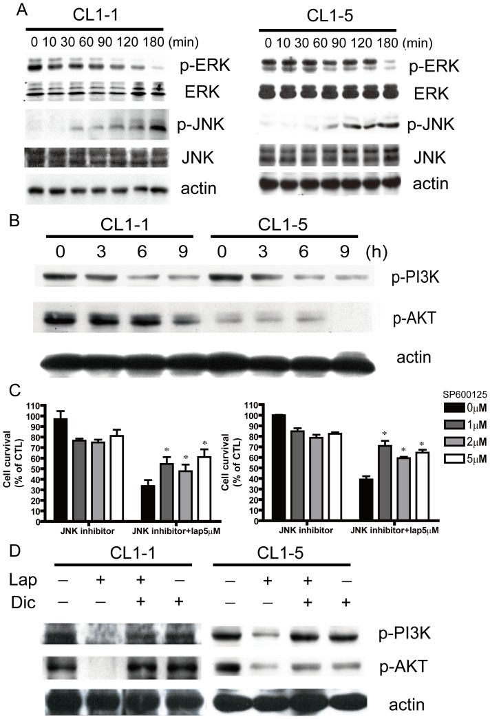 Signaling pathway components involved in β-lapachone-induced apoptosis. (A) CL1-1 cells (left) or CL1-5 cells (right) were incubated with 5 µM β-lapachone for the indicated time, then levels of p-ERK, ERK, p-JNK, and JNK were measured by Western blotting. (B) CL1-1 cells (left) or CL1-5 cells (right) were incubated with 5 µM β-lapachone for 0, 3, 6, or 9 h, then levels of p-PI3K and p-AKT were examined by Western blotting. (C) CL1-1 cells (left) or CL1-5 cells (right) were pretreated with the indicated concentrations of the JNK inhibitor sp600125 for 6 h, and then treated with or without 5 µM β-lapachone for 24 h.Cell survival was measured by the MTT assay and expressed as percentage survival compared to the untreated cells.* p