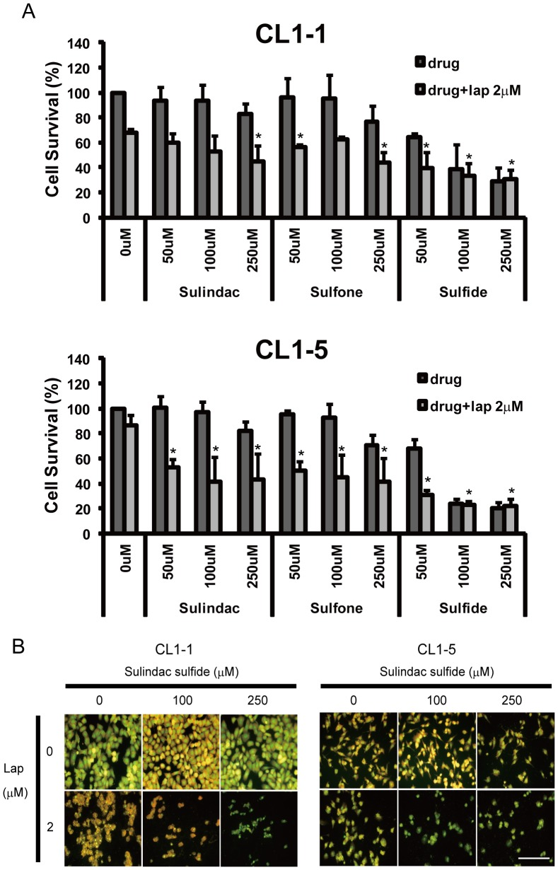 The cytotoxicity of β-lapachone for CL1-1 and CL1-5 cells is enhanced by sulindac and its metabolites. (A) CL1-1 cells (left) or CL1-5 cells (right) were left untreated or were pretreated for 6 h with the indicated concentration of sulindac, sulindac sulfone, and sulindac sulfide, then 2 µM β-lapachone was added for 12 h, then cell survival was measured using crystal violet staining and expressed as percentage survival compared to the untreated cells. * : p